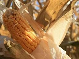 Адевей ЛГ(LG) гибрид кукурузы