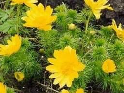Адонис (Горицвет весенний, Adonis vernalis) цвет с травой 50