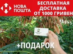 Акация белая семена(20шт)