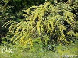 Акация желтая куст (карагана древовидная) для пасек