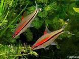 Аквариумная рыба Барбус денисони 6-8 см - фото 2