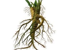 Алтея корень
