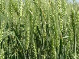 Антоновка (1 репродукция) Пшеница озимая