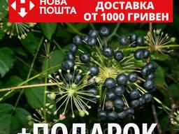 Аралия маньчжурская семена (20 шт)