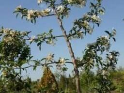 Арки, колонны, топиары, бонсай, садовые формы: Яблоня ягодн