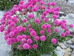 Армерия розовая.