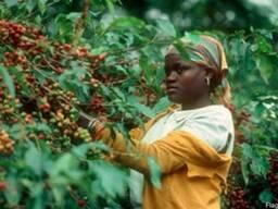 Ароматна натуральна кава 100% Арабіка (Камерун) – (зелена та