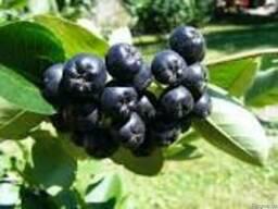 Аронія чорноплідна,ягода.