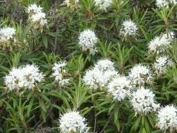 Багульник болотный ( трава ) 50 грамм