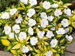 Бальзамин новогвинейский пестролистный- красный белый розовы