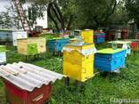 Бджоди, пчелы