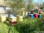 Бджоди, пчелы, фото 3