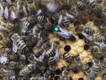 Бджоломатки Карника, Карпатка 2020 Пчеломатки Пчелиные Матки - фото 7