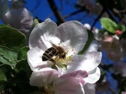 Бджолопакети та бджоломатки.