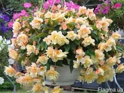Бегония - огромные махровые цветы - 4 сорта