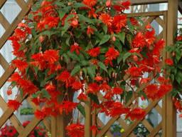 Бегония - огромные махровые цветы - разные сорта.