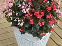 Бегония вечноцветущая махровая - 8 расцветок.