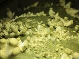 Белый степной гриб - семена (мицелий) вешенки королевской - фото 3