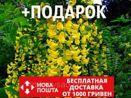 Бобовник анагиролистный семена (20 шт)