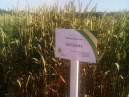 Богдана ЭЛИТА Безостая озимая пшеница семена