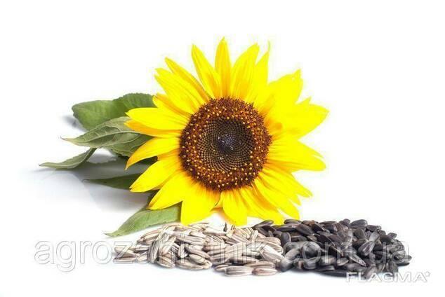 Оскил, семена подсолнуха (1 шт. .)