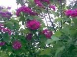 Боярышник в цвету