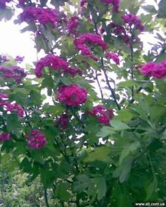 Боярышник однопестичный розовоцветный