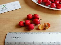 Боярышник семена (10 шт)(насіння глоду для саджанців)семечка