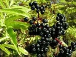 Бузина черная (плоды)100 грамм