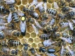 Бджоломатка , матка Степова Украинская 2019 года Плодная !