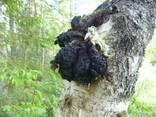 Чага березовый гриб - фото 1