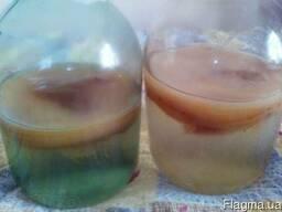 Чайный гриб — потрясающий пример взаимодействия двух разных