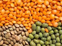 Чечевица зеленая, красная, сочевиця, lentil урожай 2019