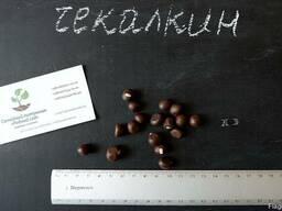 Чекалкин орех (Ксантоцерас) семена (10 штук)