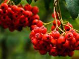 Червона горобина (Рябіна красная) - фото 1