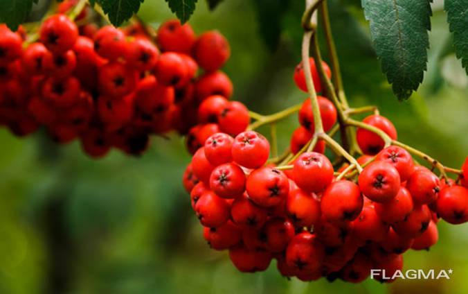 Червона горобина (Рябіна красная)