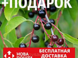 Черёмуха поздняя семена (20 шт) американская вишня для. ..