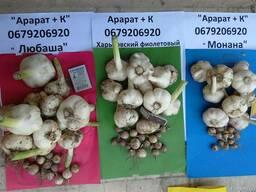 Чеснок семена однозубка сорт Любаша 2017 Одесская обл.
