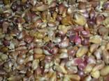 Чеснок семена воздушка Люба ша seeds Garlic from Ukraine