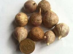 Чеснок Любаша. предлагаем купить семена чеснока однозубка.