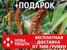 Чумиза семена (20 грамм, около 4000 шт) головчатое просо. ..