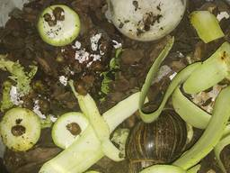 Cochlea helix snail улитка равлики яйця та малеча