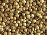 Coriander corn buy in Ukraine - photo 2