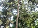 Cпил деревьев - фото 3