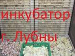 Цыплята бройлера КОББ 500, РОС 308 - фото 2