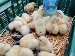 Цыплята бройлера,отличный рост,нет падежа