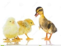 Цыплята бройлеры суточные, цыплята несушки разных пород,