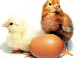Цыплята Мастер-Грей, Испанка, Редбро, Гриз-Бар