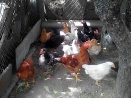 Цыплята продам домашних мясо-яичной породы геркулес жив. вес