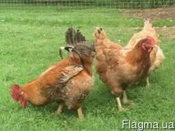 Цыплята Ред бро